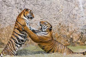 Indochinese Tiger or Corbett's Tiger, Thailand by Peter Adams