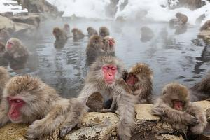 Japanese Macaque, Snow Monkey, Joshin-etsu NP, Honshu, Japan by Peter Adams