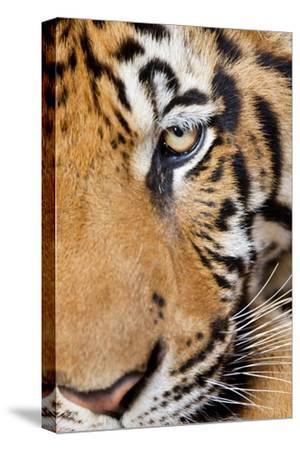 Portrait, Indochinese Tiger or Corbett's Tiger, Thailand