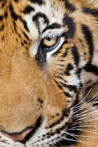 Portrait, Indochinese Tiger or Corbett's Tiger, Thailand by Peter Adams