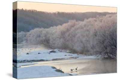 Red Crowned Cranes in Frozen River at Dawn Hokkaido Japan