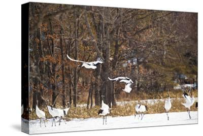 Red Crowned Cranes in Snow Hokkaido Japan