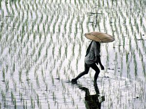 Rice Fields, Bali, Indonesia by Peter Adams