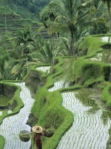 Rice Fields, Central Bali, Indonesia by Peter Adams