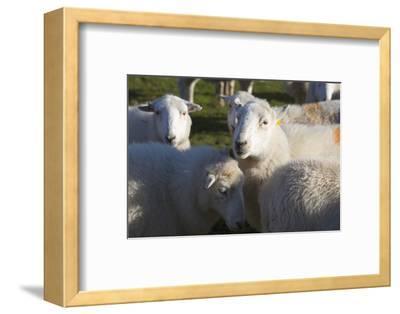Sheep, Snowdonia, Wales, UK