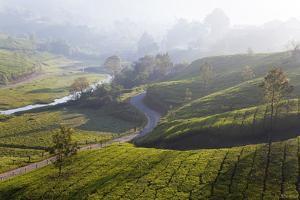 Tea Plantations, Munnar, Western Ghats, Kerala, South India by Peter Adams