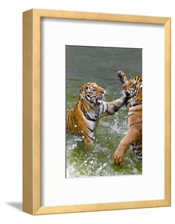Tigers Play Fighting in Water, Indochinese Tiger, Thailand