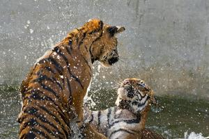 Tigers Playing in Water, Indochinese Tiger or Corbetts Tiger, Thailand by Peter Adams