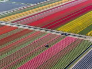 Tractor in Tulip Fields, North Holland, Netherlands by Peter Adams