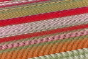 Tulip Fields, North Holland, Netherlands by Peter Adams