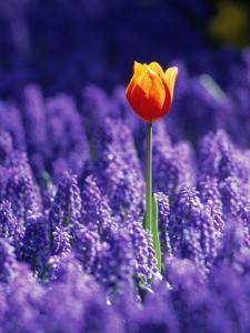 Tulip, Holland by Peter Adams