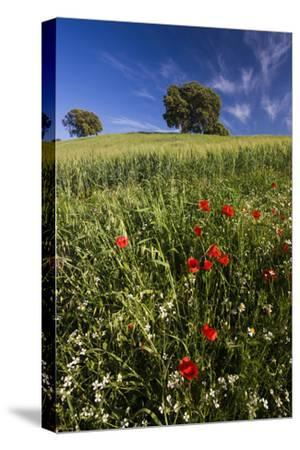 Wild Flowers in Field, Spring, Near Olvera, Andalucia, Spain