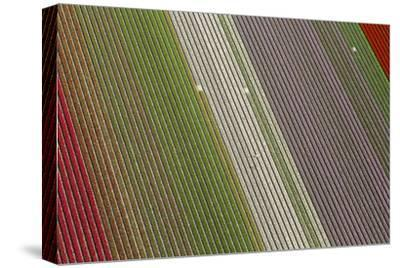 Workers in Tulip Fields, North Holland, Netherlands