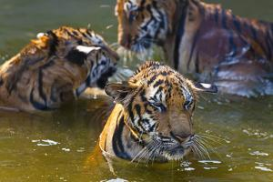 Young Tigers Playing in Water, Indochinese Tiger, Thailand by Peter Adams