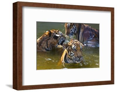 Young Tigers Playing in Water, Indochinese Tiger, Thailand