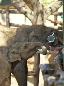 Baby Asian Elephants Being Fed, Uda Walawe Elephant Transit Home, Sri Lanka, Asia by Peter Barritt