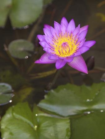 Blue Star Water Lily (Blue Lotus Flower) (Nymphaea Stellata), National Flower of Sri Lanka, Asia by Peter Barritt