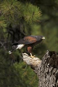 Harris Hawk (Parabuteo Unicinctus), Bearizona Wildlife Park, Williams, Arizona, USA by Peter Barritt