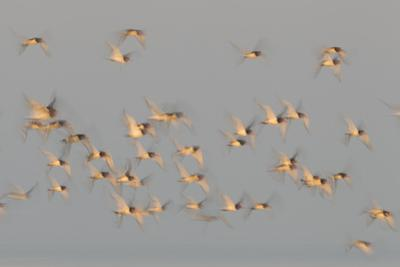 Flock of Oystercatchers (Haematopus Ostralegus) in Flight, the Wash Estuary, Norfolk, England, UK