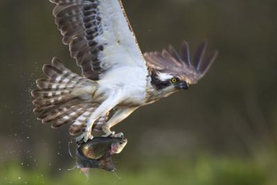 Osprey (Pandion Haliaetus) with Fish Prey, Cairngorms National Park, Scotland, UK, May