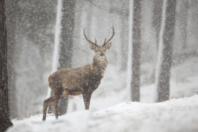 Red Deer (Cervus Elaphus) in Heavy Snowfall, Cairngorms National Park, Scotland, March 2012 by Peter Cairns