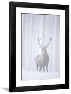Red Deer (Cervus Elaphus) Stag in Pine Forest in Snow Blizzard, Cairngorms Np, Scotland, UK by Peter Cairns
