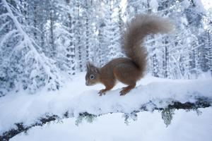 Red Squirrel (Sciurus Vulgaris) on Snow-Covered Branch in Pine Forest, Highlands, Scotland, UK by Peter Cairns
