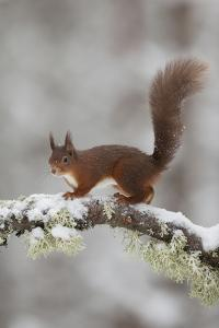 Red Squirrel (Sciurus Vulgaris) on Snowy Branch in Forest, Cairngorms Np, Scotland, UK, December by Peter Cairns
