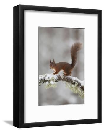 Red Squirrel (Sciurus Vulgaris) on Snowy Branch in Forest, Cairngorms Np, Scotland, UK, December