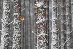 Two Red Squirrels (Sciurus Vulgaris) in Snowy Pine Forest. Glenfeshie, Scotland, January by Peter Cairns