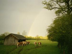 Cattle Gather Outside a Run-In Barn in a Lush Pasture by Peter Carsten