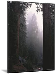 Sequoia Trees Dwarf a Car Traveling Through Sequoia National Forest by Peter Carsten