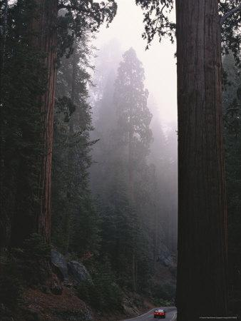 Sequoia Trees Dwarf a Car Traveling Through Sequoia National Forest