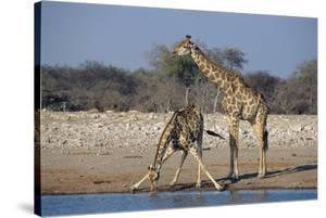 Giraffes by Peter Chadwick