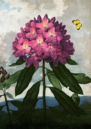 Botanical Print, The Pontic Rhododendron