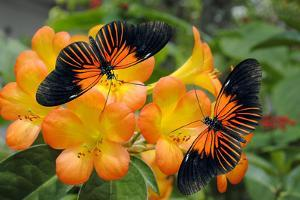Tropical Rhododendron Simbu Sunset Flowers with 2 Doris Longwing Butterflies by Peter Etchells