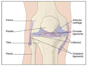 Knee Joint Anatomy, Artwork by Peter Gardiner