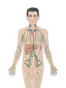 Lymphatic System, Artwork by Peter Gardiner