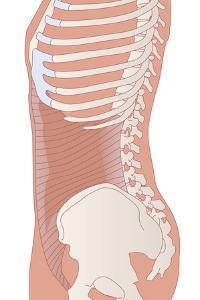Transversus Abdominis Muscle, Artwork by Peter Gardiner