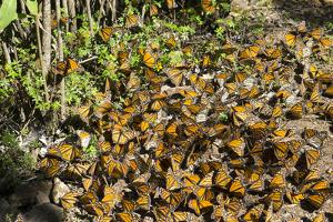 Cerro Pelon Monarch Butterfly Biosphere, UNESCO World Heritage Site, Mexico, North America by Peter Groenendijk