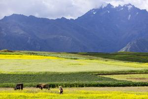 Cultivated Fields and Cattle, Moho, Bordering on Lake Titicaca, Peru by Peter Groenendijk