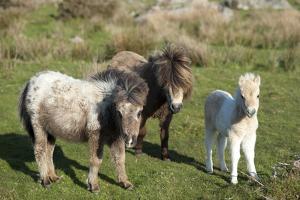 Ponies and Foal on Dartmoor, Devon, England, United Kingdom, Europe by Peter Groenendijk