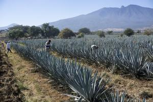 Tequila is made from the blue agave plant in the state of Jalisco and mostly around the city of Teq by Peter Groenendijk