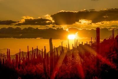 USA, Arizona, Tucson, Saguaro National Park by Peter Hawkins