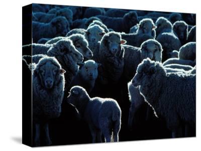 Flock of Sheep, Australia