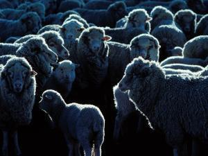 Flock of Sheep, Australia by Peter Hendrie