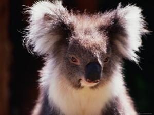 Koala, Australia by Peter Hendrie