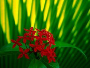 Red Bouvardia, Cook Islands by Peter Hendrie