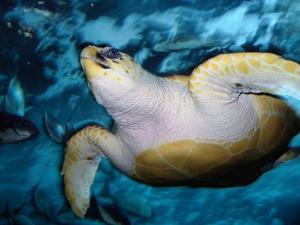 Turtle Underwater, Australia by Peter Hendrie