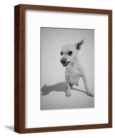 Chihuahua Dog Snarling